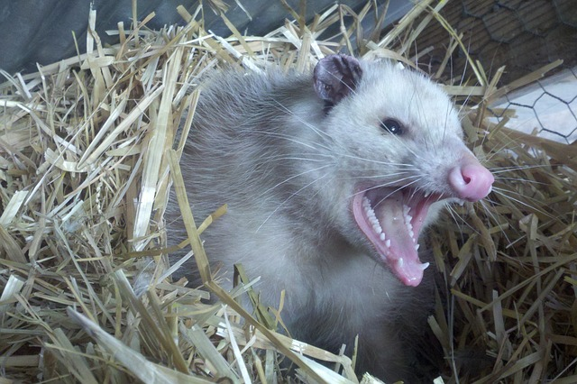 Opossum Infestation, pdx pest control, bloom crawl space services, animal, crawl space, clean out, crawl space infestation