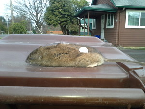 portland rat control, oh rats, rat article, nathan head, pest control, bloom pest control